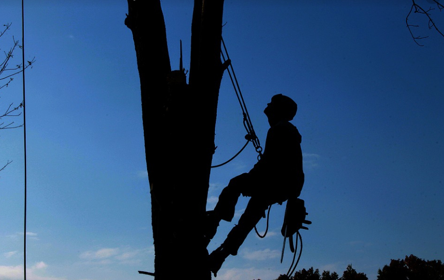 this image shows tree cabling and bracing in Costa Mesa, California