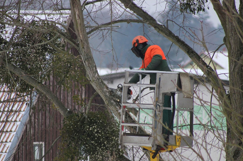 this image shows tree pruning in Costa Mesa, California