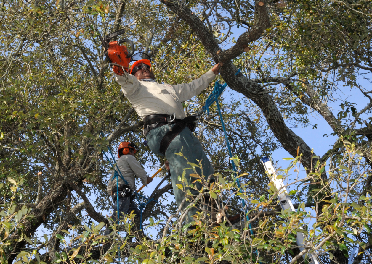 this is a picture of tree pruning in Costa Mesa, CA
