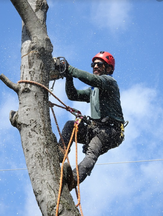 this is a picture of Costa Mesa tree removal.